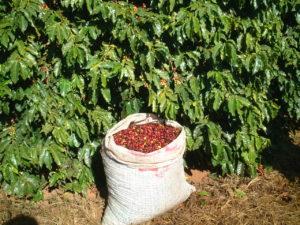 手摘み完熟豆p